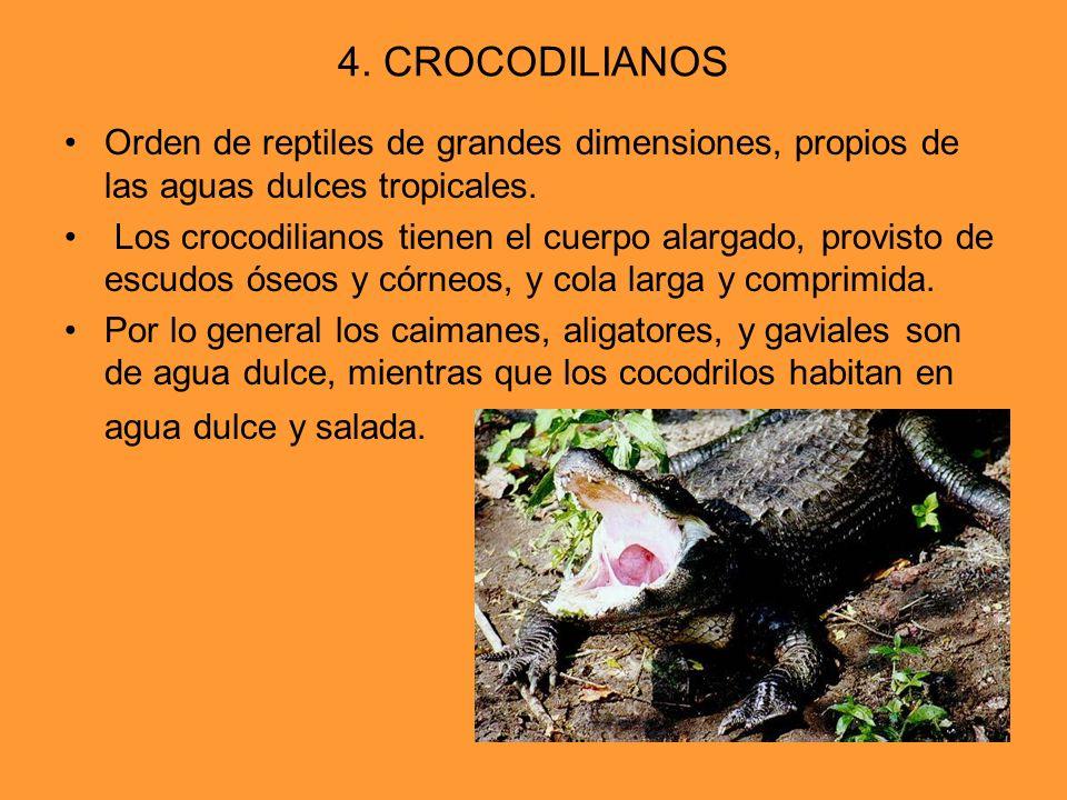4. CROCODILIANOS Orden de reptiles de grandes dimensiones, propios de las aguas dulces tropicales. Los crocodilianos tienen el cuerpo alargado, provis