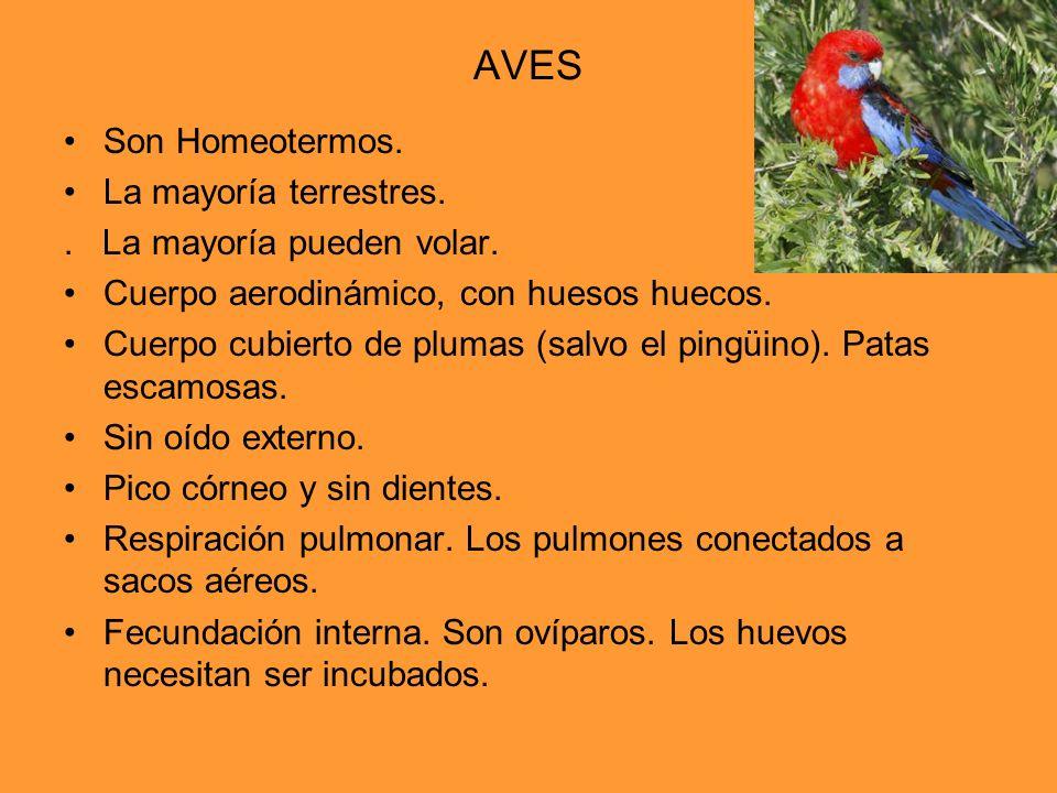 AVES Son Homeotermos. La mayoría terrestres.. La mayoría pueden volar. Cuerpo aerodinámico, con huesos huecos. Cuerpo cubierto de plumas (salvo el pin