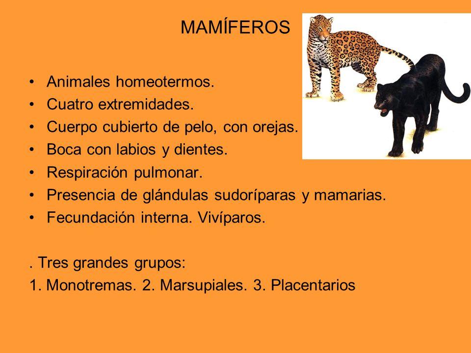 MAMÍFEROS Animales homeotermos. Cuatro extremidades. Cuerpo cubierto de pelo, con orejas. Boca con labios y dientes. Respiración pulmonar. Presencia d