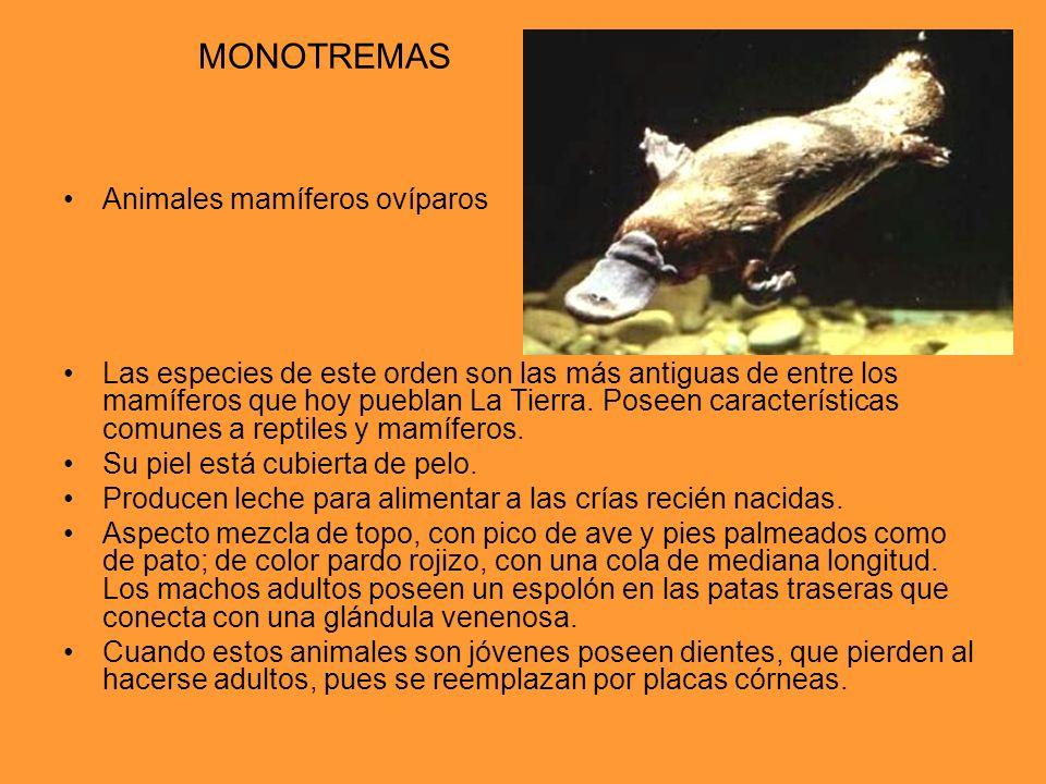 MONOTREMAS Animales mamíferos ovíparos Las especies de este orden son las más antiguas de entre los mamíferos que hoy pueblan La Tierra. Poseen caract