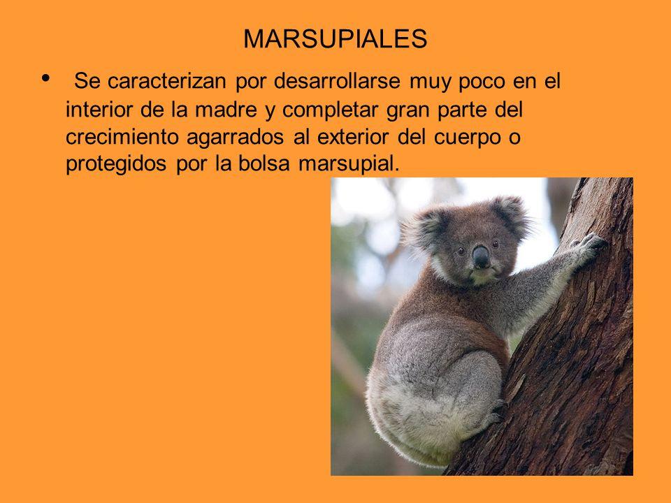 MARSUPIALES Se caracterizan por desarrollarse muy poco en el interior de la madre y completar gran parte del crecimiento agarrados al exterior del cue