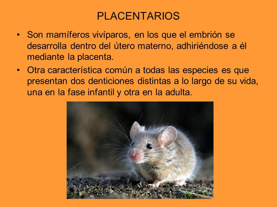 PLACENTARIOS Son mamíferos vivíparos, en los que el embrión se desarrolla dentro del útero materno, adhiriéndose a él mediante la placenta. Otra carac