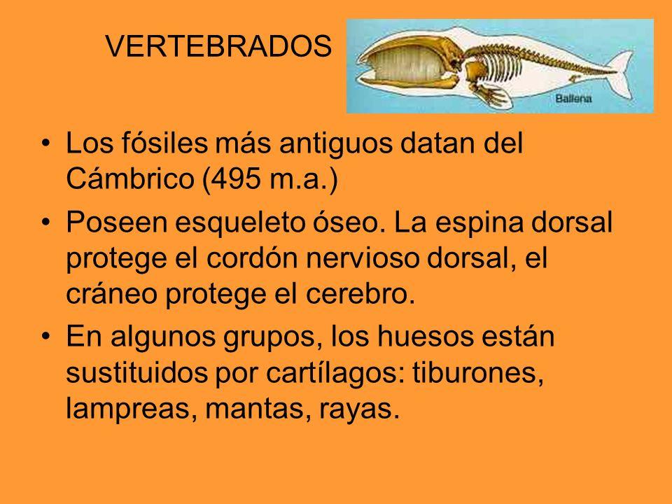 VERTEBRADOS Los fósiles más antiguos datan del Cámbrico (495 m.a.) Poseen esqueleto óseo. La espina dorsal protege el cordón nervioso dorsal, el cráne
