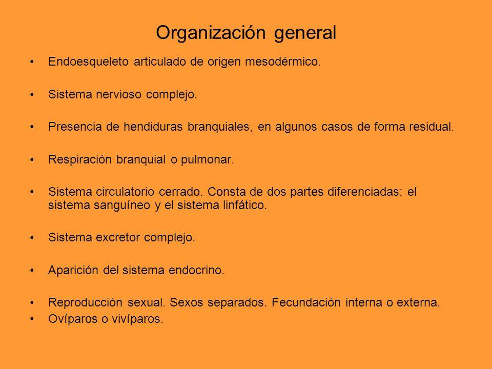 Organización general Endoesqueleto articulado de origen mesodérmico. Sistema nervioso complejo. Presencia de hendiduras branquiales, en algunos casos