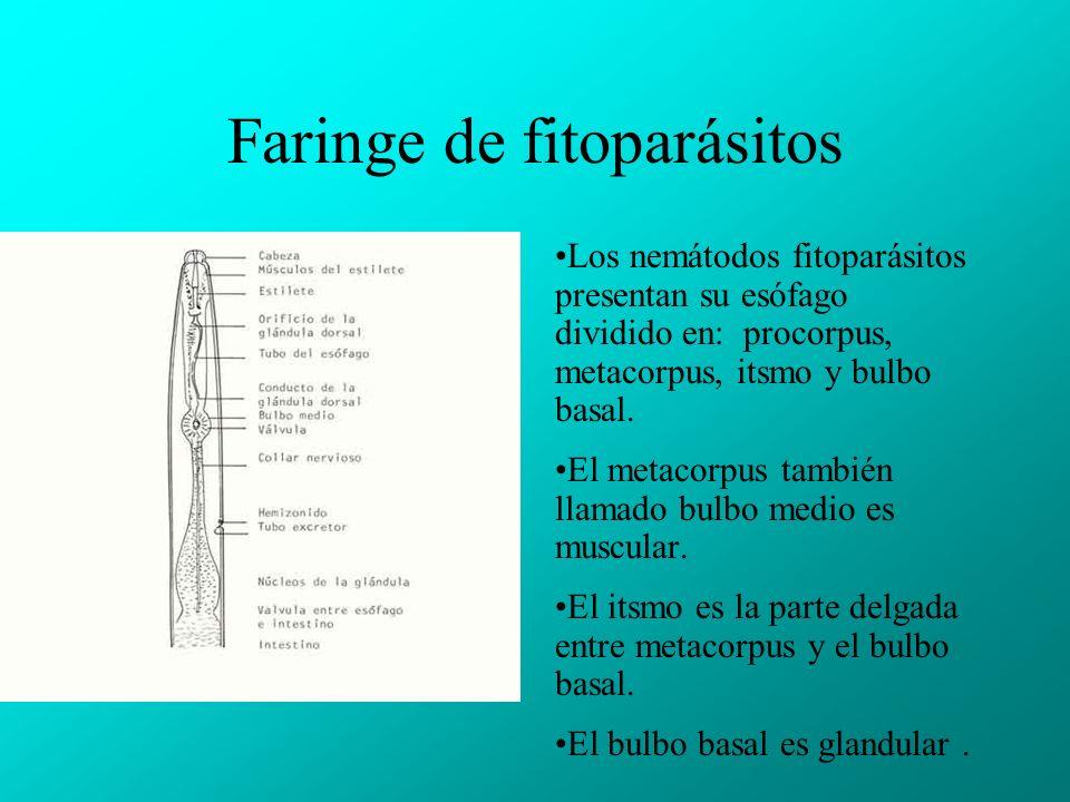 Faringe de fitoparásitos Los nemátodos fitoparásitos presentan su esófago dividido en: procorpus, metacorpus, itsmo y bulbo basal.
