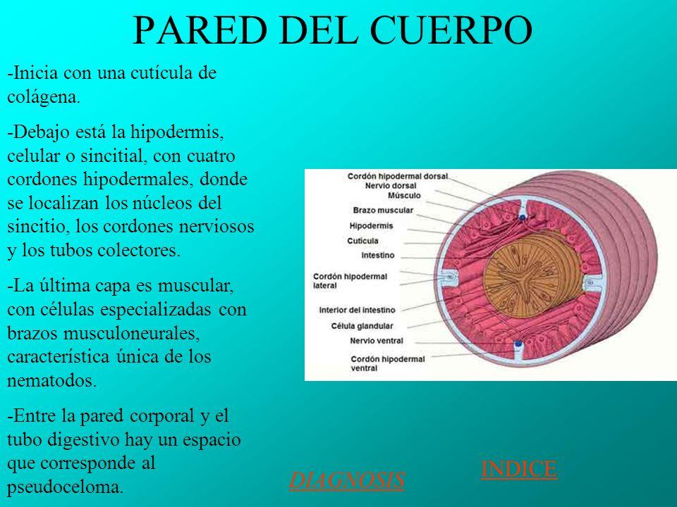 PARED DEL CUERPO -Inicia con una cutícula de colágena.