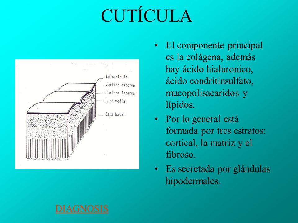 CUTÍCULA El componente principal es la colágena, además hay ácido hialuronico, ácido condritinsulfato, mucopolisacaridos y lípidos.