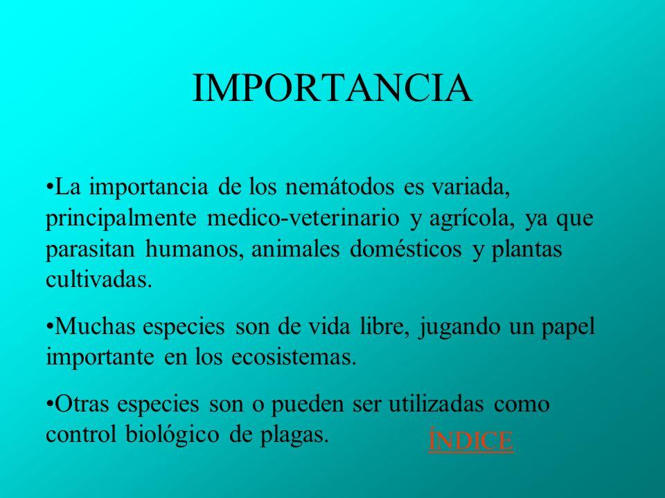 IMPORTANCIA La importancia de los nemátodos es variada, principalmente medico-veterinario y agrícola, ya que parasitan humanos, animales domésticos y plantas cultivadas.