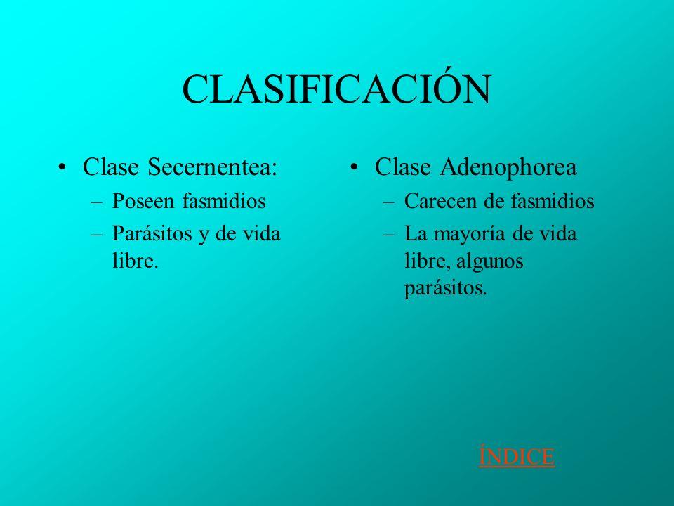 CLASIFICACIÓN Clase Secernentea: –Poseen fasmidios –Parásitos y de vida libre.