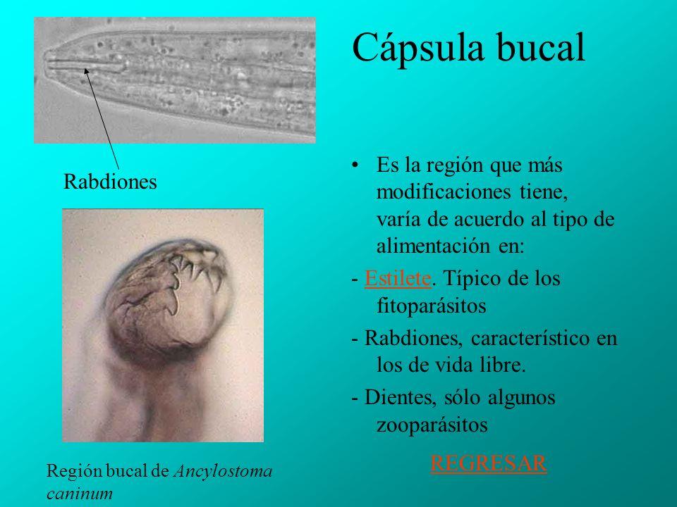 Cápsula bucal Es la región que más modificaciones tiene, varía de acuerdo al tipo de alimentación en: - Estilete.