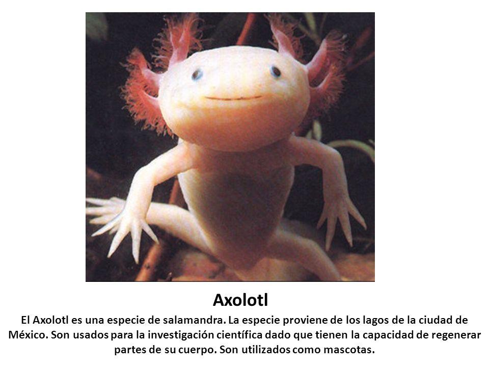 Axolotl El Axolotl es una especie de salamandra. La especie proviene de los lagos de la ciudad de México. Son usados para la investigación científica