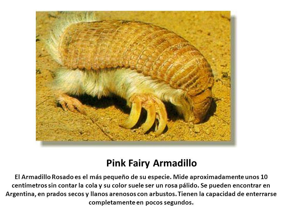 Pink Fairy Armadillo El Armadillo Rosado es el más pequeño de su especie. Mide aproximadamente unos 10 centímetros sin contar la cola y su color suele