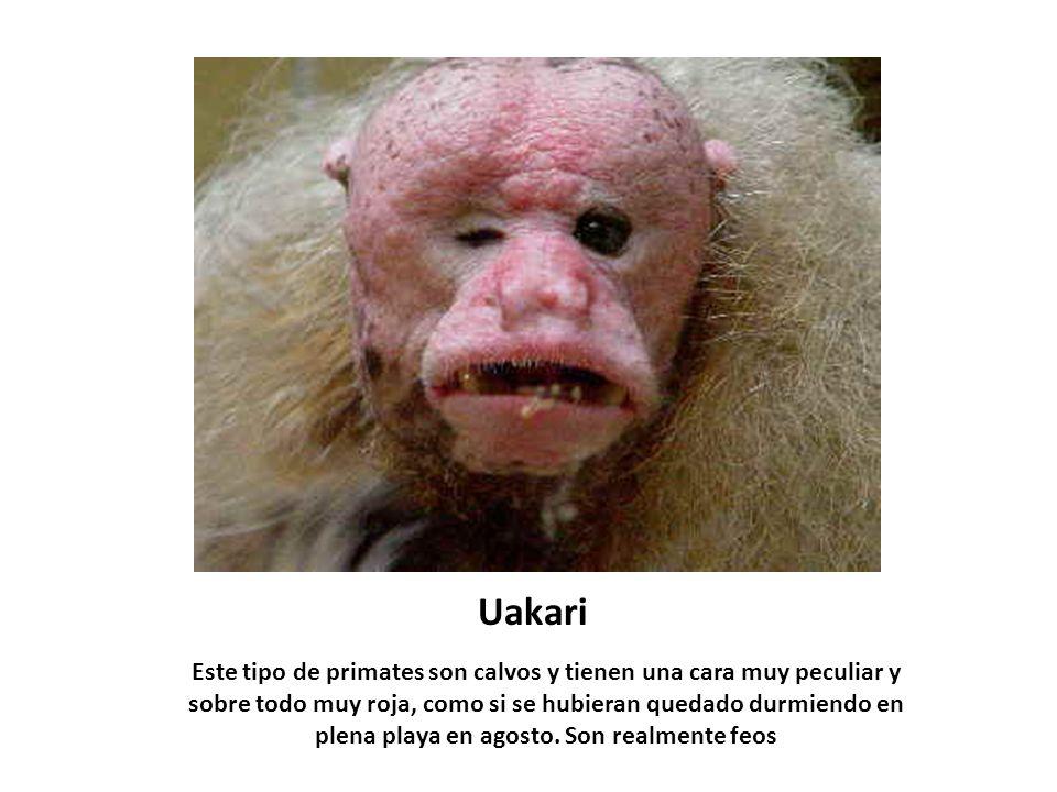 Uakari Este tipo de primates son calvos y tienen una cara muy peculiar y sobre todo muy roja, como si se hubieran quedado durmiendo en plena playa en