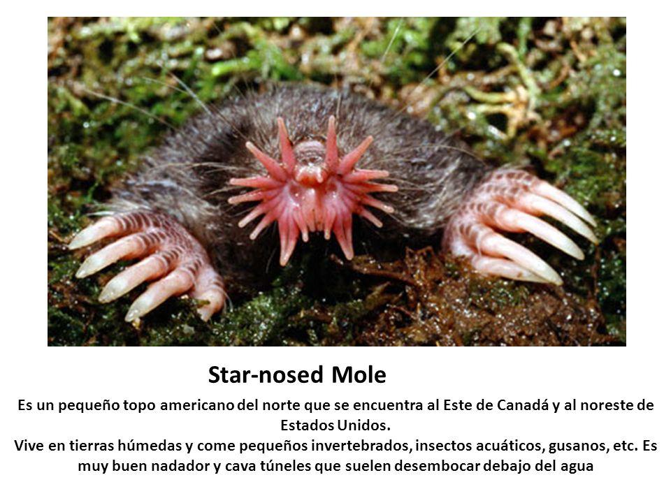 Star-nosed Mole Es un pequeño topo americano del norte que se encuentra al Este de Canadá y al noreste de Estados Unidos. Vive en tierras húmedas y co