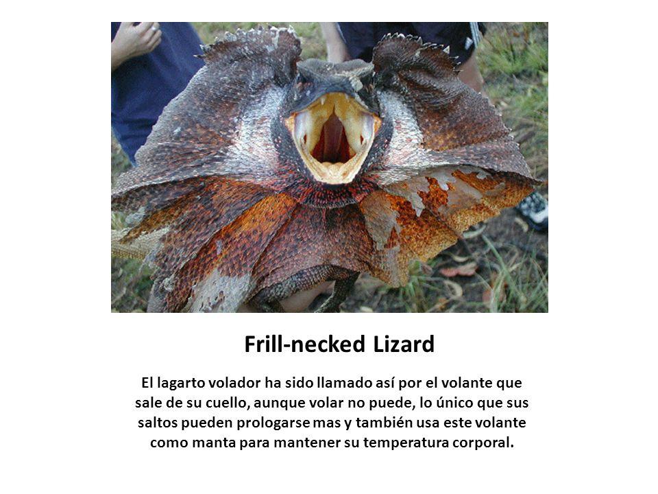 Frill-necked Lizard El lagarto volador ha sido llamado así por el volante que sale de su cuello, aunque volar no puede, lo único que sus saltos pueden