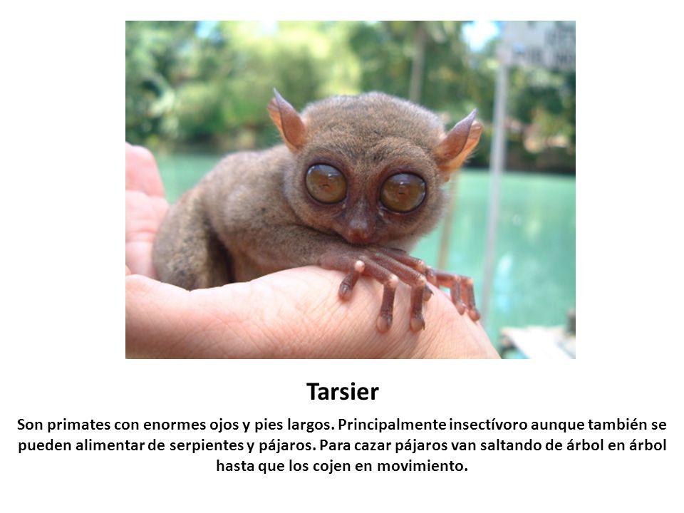 Tarsier Son primates con enormes ojos y pies largos. Principalmente insectívoro aunque también se pueden alimentar de serpientes y pájaros. Para cazar
