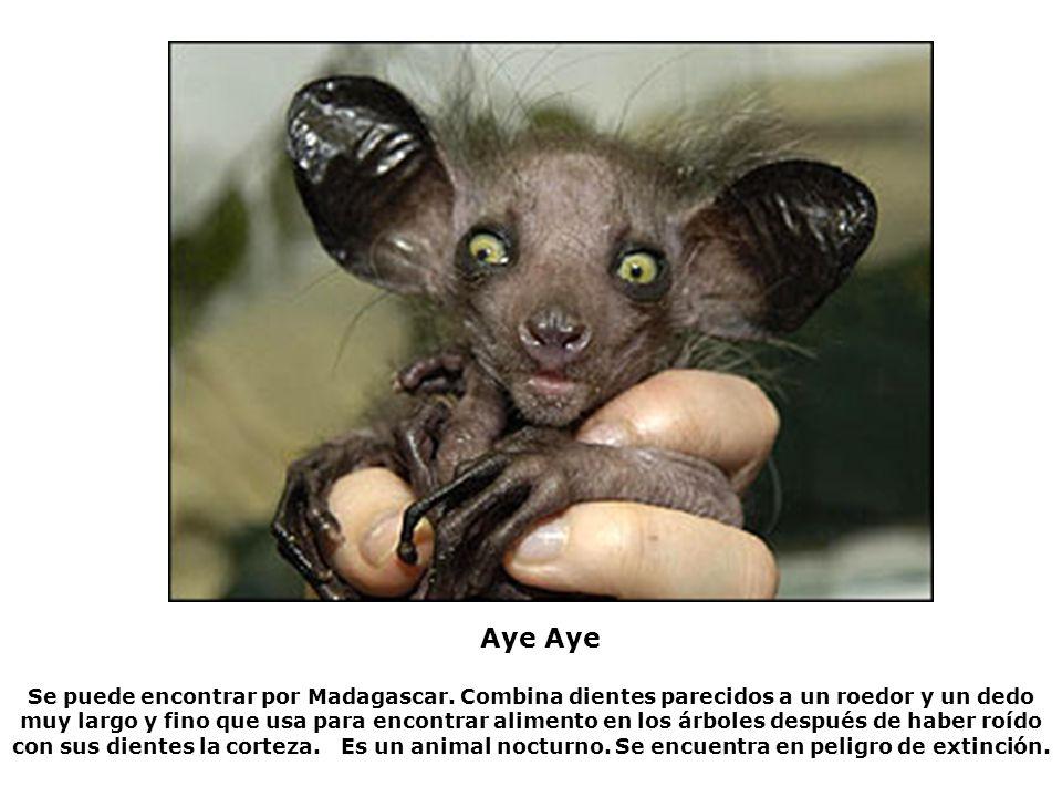 Se puede encontrar por Madagascar. Combina dientes parecidos a un roedor y un dedo muy largo y fino que usa para encontrar alimento en los árboles des