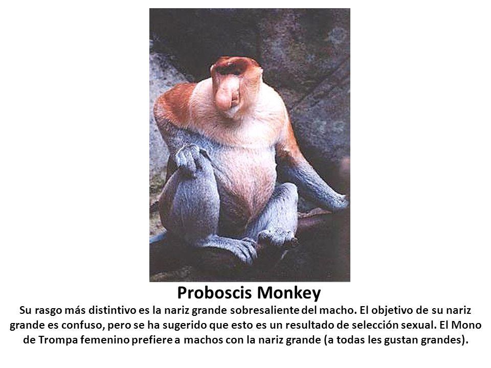 Proboscis Monkey Su rasgo más distintivo es la nariz grande sobresaliente del macho. El objetivo de su nariz grande es confuso, pero se ha sugerido qu