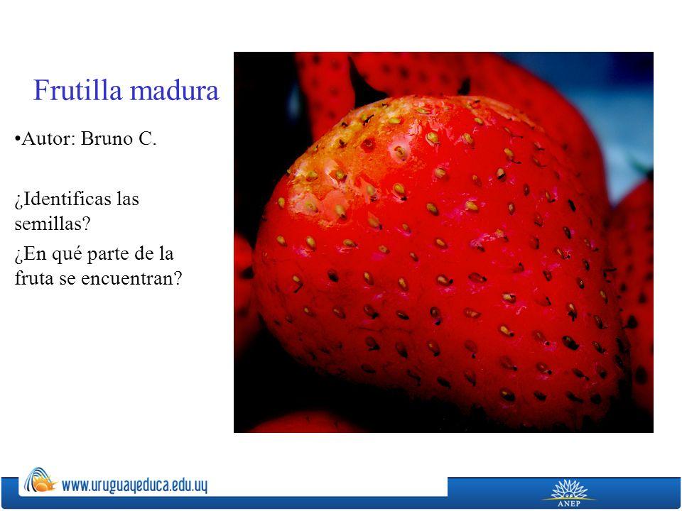 Frutilla madura Autor: Bruno C. ¿Identificas las semillas? ¿En qué parte de la fruta se encuentran?