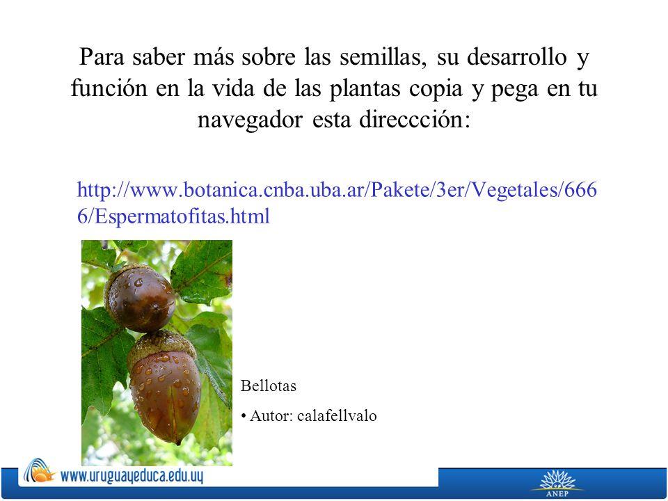 Para saber más sobre las semillas, su desarrollo y función en la vida de las plantas copia y pega en tu navegador esta direccción: http://www.botanica.cnba.uba.ar/Pakete/3er/Vegetales/666 6/Espermatofitas.html Bellotas Autor: calafellvalo
