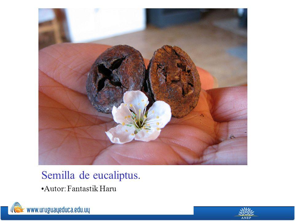 Semilla de eucaliptus. Autor: Fantastik Haru