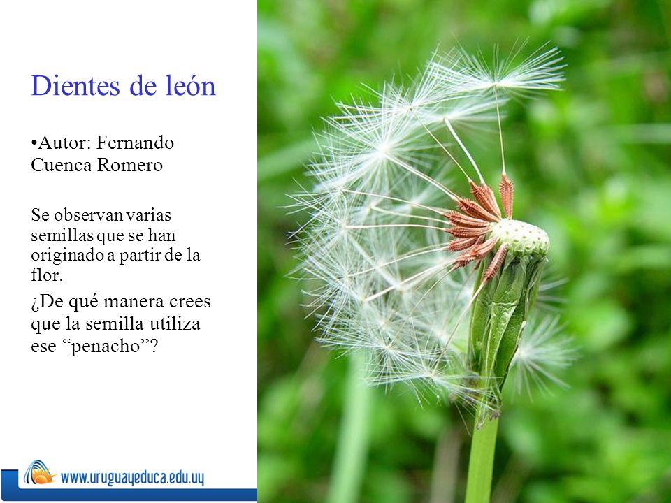 Dientes de león Autor: Fernando Cuenca Romero Se observan varias semillas que se han originado a partir de la flor.