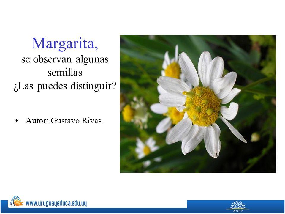 Margarita, se observan algunas semillas ¿Las puedes distinguir? Autor: Gustavo Rivas.