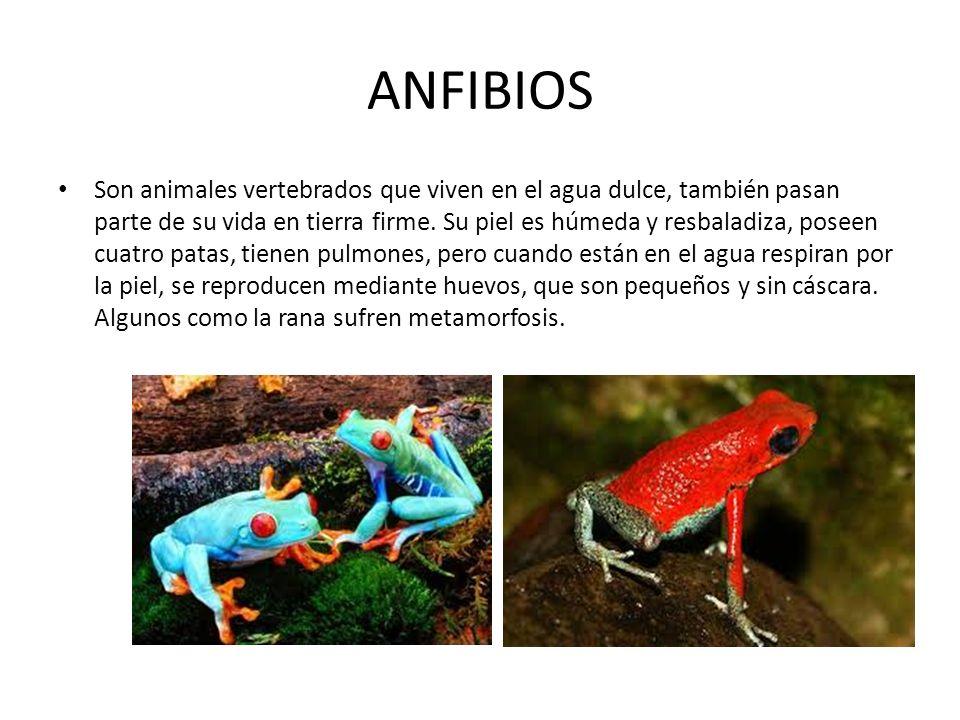 ANFIBIOS Son animales vertebrados que viven en el agua dulce, también pasan parte de su vida en tierra firme.