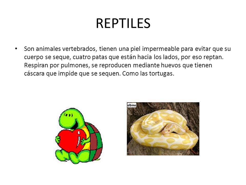 REPTILES Son animales vertebrados, tienen una piel impermeable para evitar que su cuerpo se seque, cuatro patas que están hacia los lados, por eso reptan.