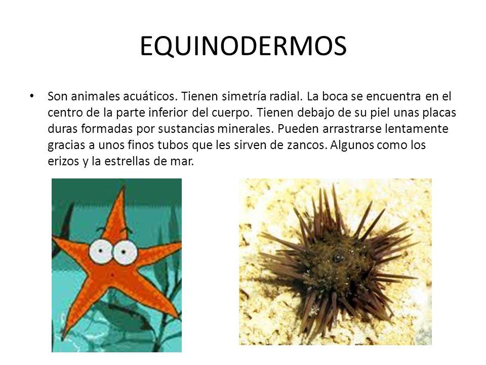 EQUINODERMOS Son animales acuáticos.Tienen simetría radial.