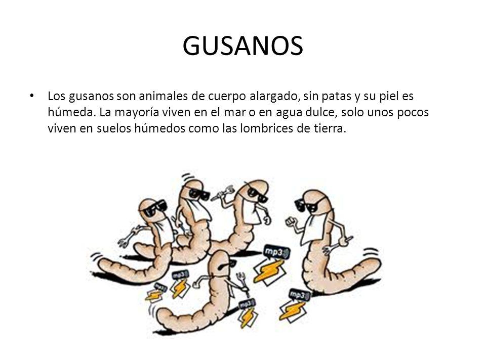 GUSANOS Los gusanos son animales de cuerpo alargado, sin patas y su piel es húmeda.