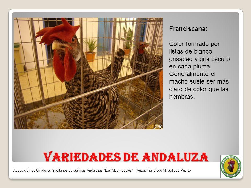 VARIEDADES DE ANDALUZA Franciscana: Color formado por listas de blanco grisáceo y gris oscuro en cada pluma. Generalmente el macho suele ser más claro