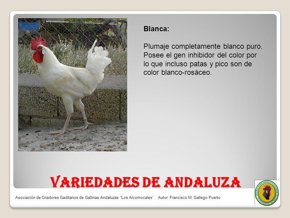 VARIEDADES DE ANDALUZA Blanca: Plumaje completamente blanco puro. Posee el gen inhibidor del color por lo que incluso patas y pico son de color blanco