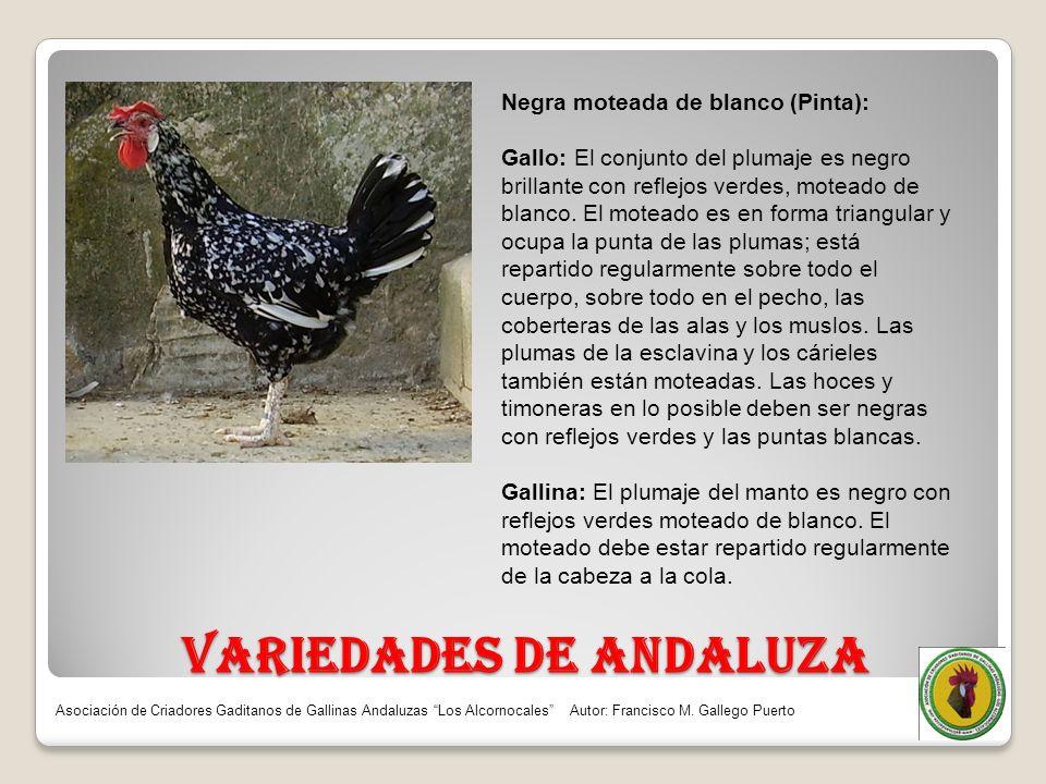 VARIEDADES DE ANDALUZA Negra moteada de blanco (Pinta): Gallo: El conjunto del plumaje es negro brillante con reflejos verdes, moteado de blanco. El m