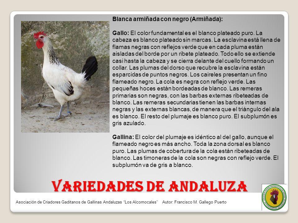 VARIEDADES DE ANDALUZA Blanca armiñada con negro (Armiñada): Gallo: El color fundamental es el blanco plateado puro. La cabeza es blanco plateado sin