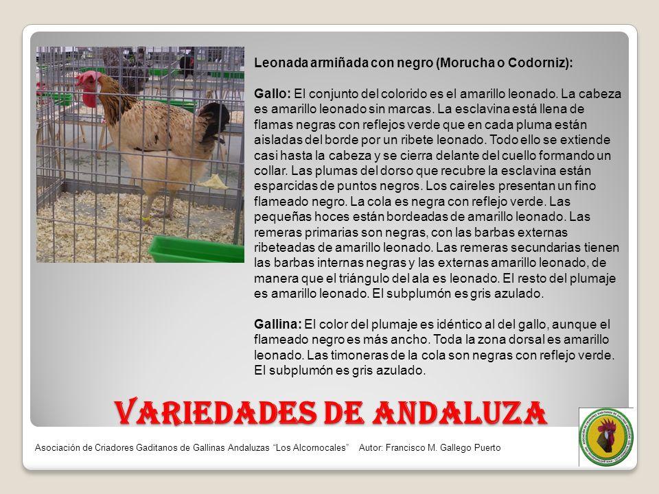 VARIEDADES DE ANDALUZA Leonada armiñada con negro (Morucha o Codorniz): Gallo: El conjunto del colorido es el amarillo leonado. La cabeza es amarillo