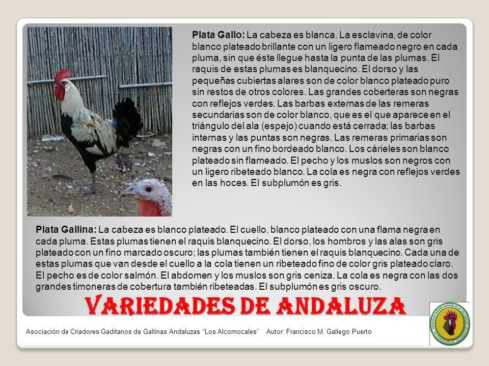 VARIEDADES DE ANDALUZA Plata Gallo: La cabeza es blanca. La esclavina, de color blanco plateado brillante con un ligero flameado negro en cada pluma,