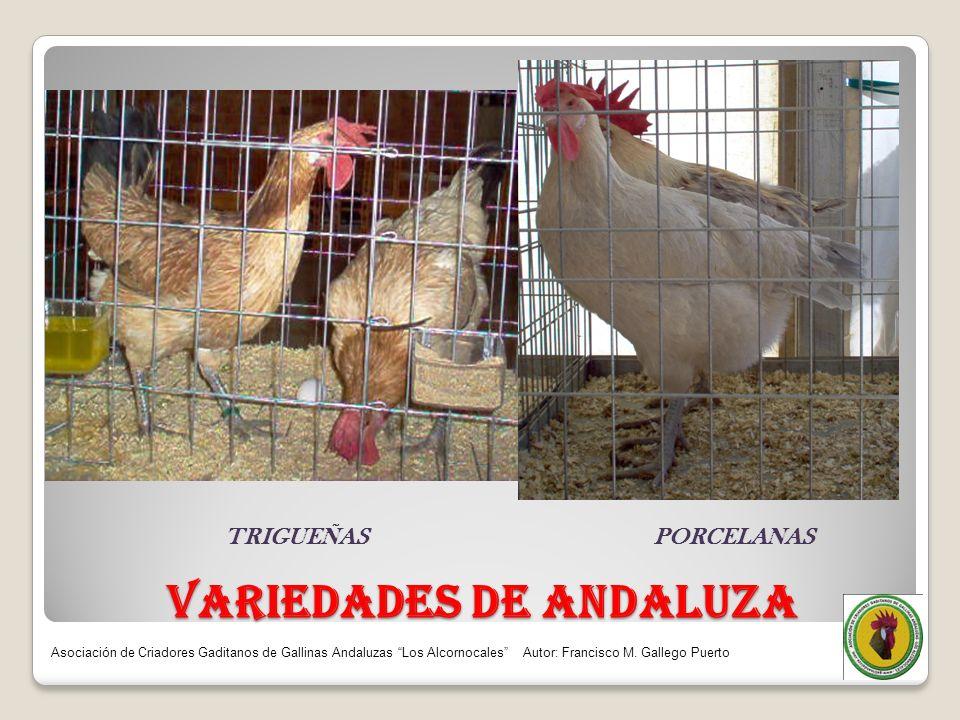 VARIEDADES DE ANDALUZA TRIGUEÑAS PORCELANAS Asociación de Criadores Gaditanos de Gallinas Andaluzas Los Alcornocales Autor: Francisco M. Gallego Puert