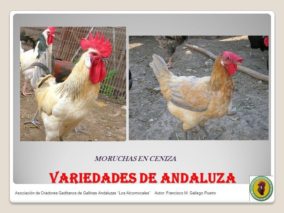 VARIEDADES DE ANDALUZA MORUCHAS EN CENIZA Asociación de Criadores Gaditanos de Gallinas Andaluzas Los Alcornocales Autor: Francisco M. Gallego Puerto