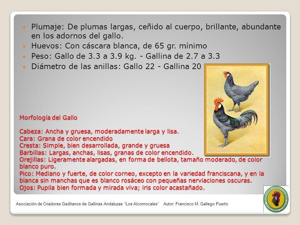 Morfología del Gallo Cabeza: Ancha y gruesa, moderadamente larga y lisa. Cara: Grana de color encendido Cresta: Simple, bien desarrollada, grande y gr