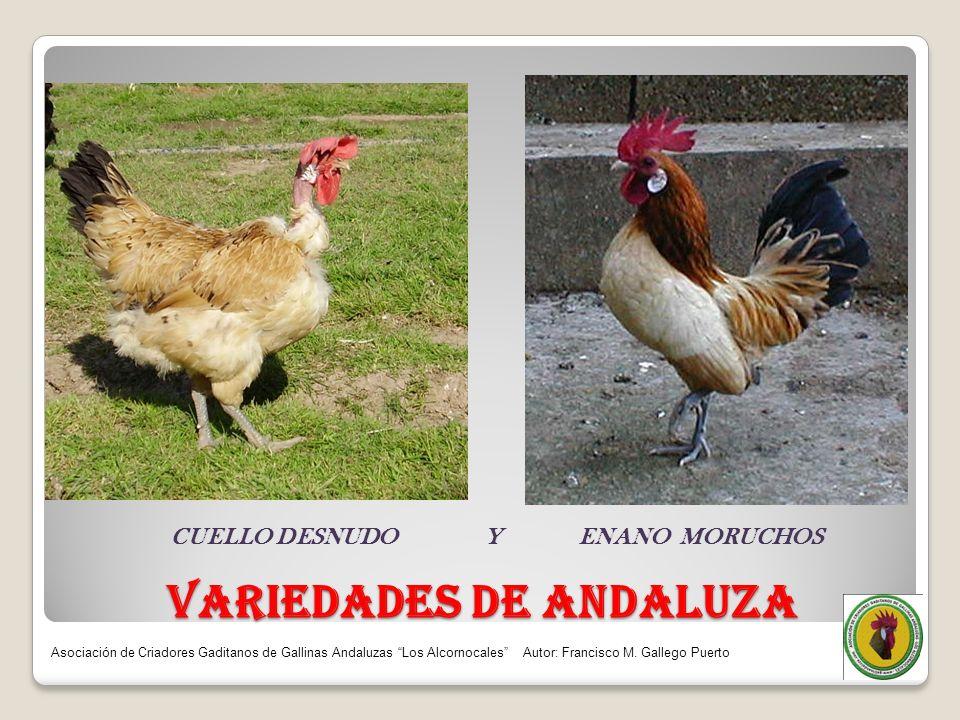 VARIEDADES DE ANDALUZA CUELLO DESNUDO Y ENANO MORUCHOS Asociación de Criadores Gaditanos de Gallinas Andaluzas Los Alcornocales Autor: Francisco M. Ga