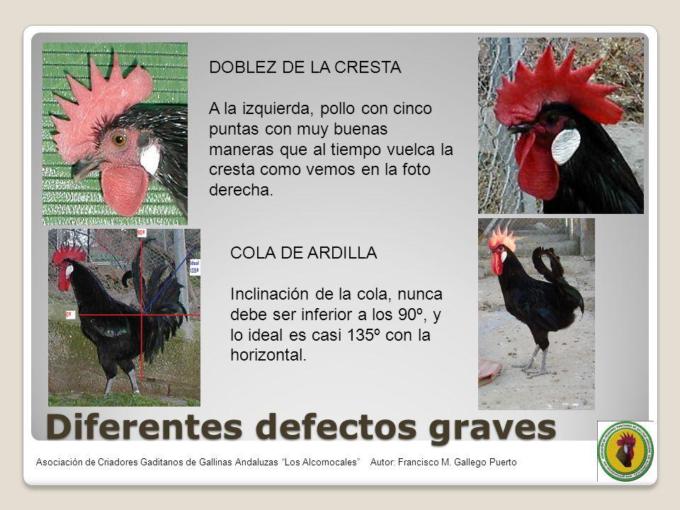 Diferentes defectos graves DOBLEZ DE LA CRESTA A la izquierda, pollo con cinco puntas con muy buenas maneras que al tiempo vuelca la cresta como vemos