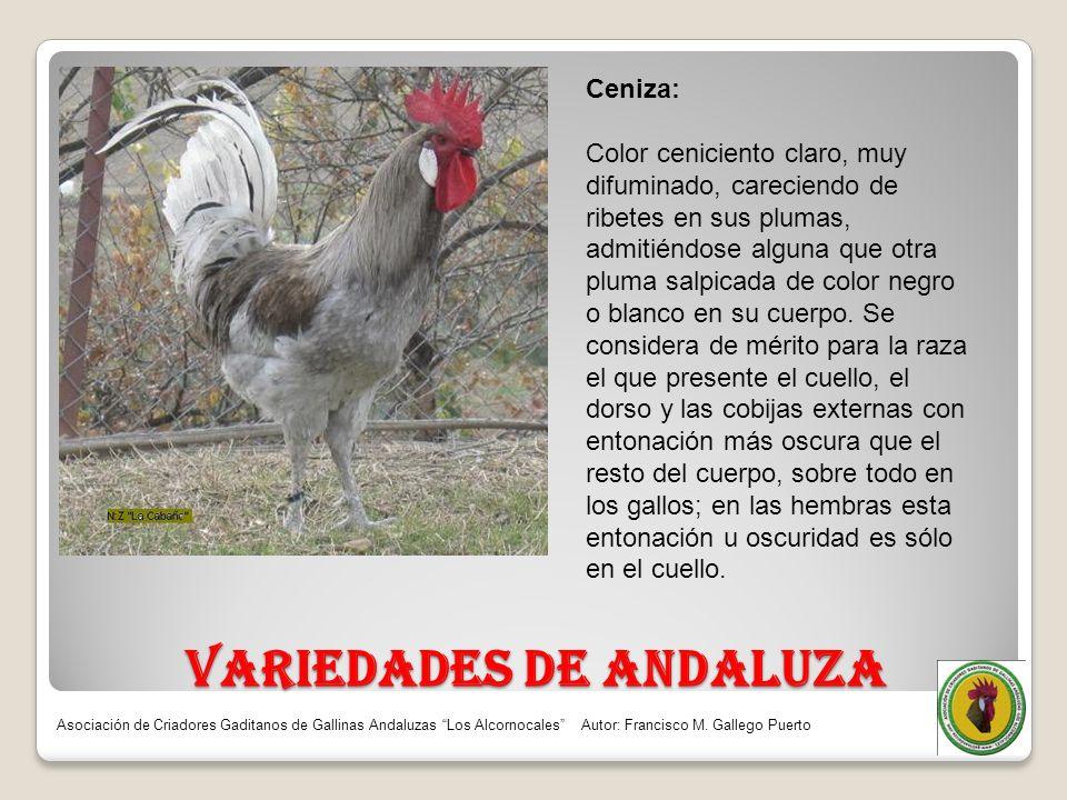 VARIEDADES DE ANDALUZA Ceniza: Color ceniciento claro, muy difuminado, careciendo de ribetes en sus plumas, admitiéndose alguna que otra pluma salpica