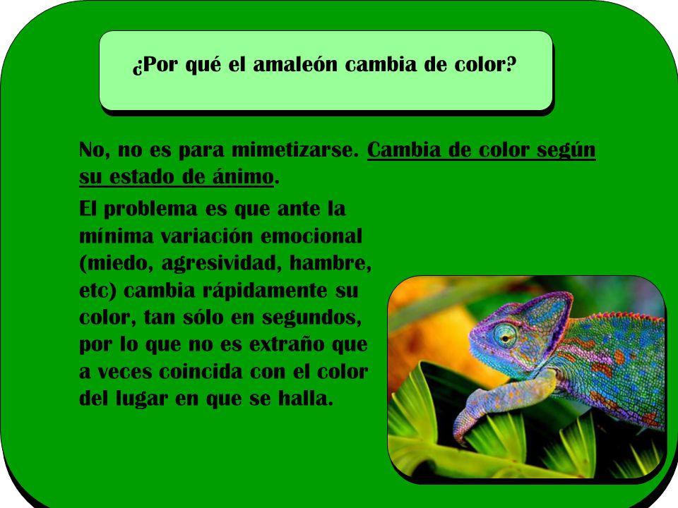 ¿Por qué el amaleón cambia de color.
