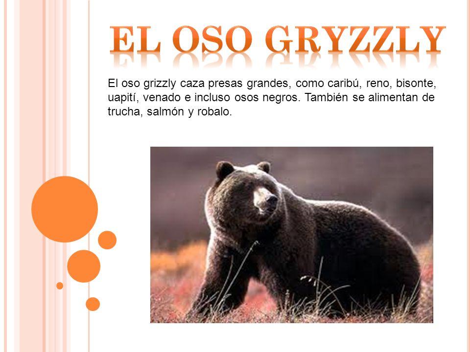El oso grizzly caza presas grandes, como caribú, reno, bisonte, uapití, venado e incluso osos negros.