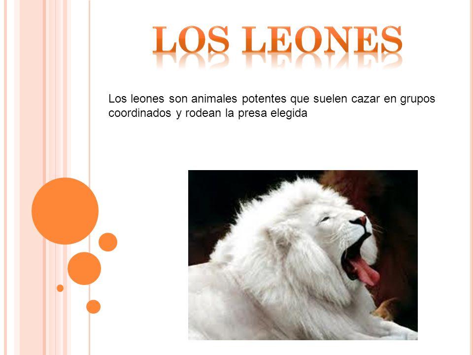 Los leones son animales potentes que suelen cazar en grupos coordinados y rodean la presa elegida