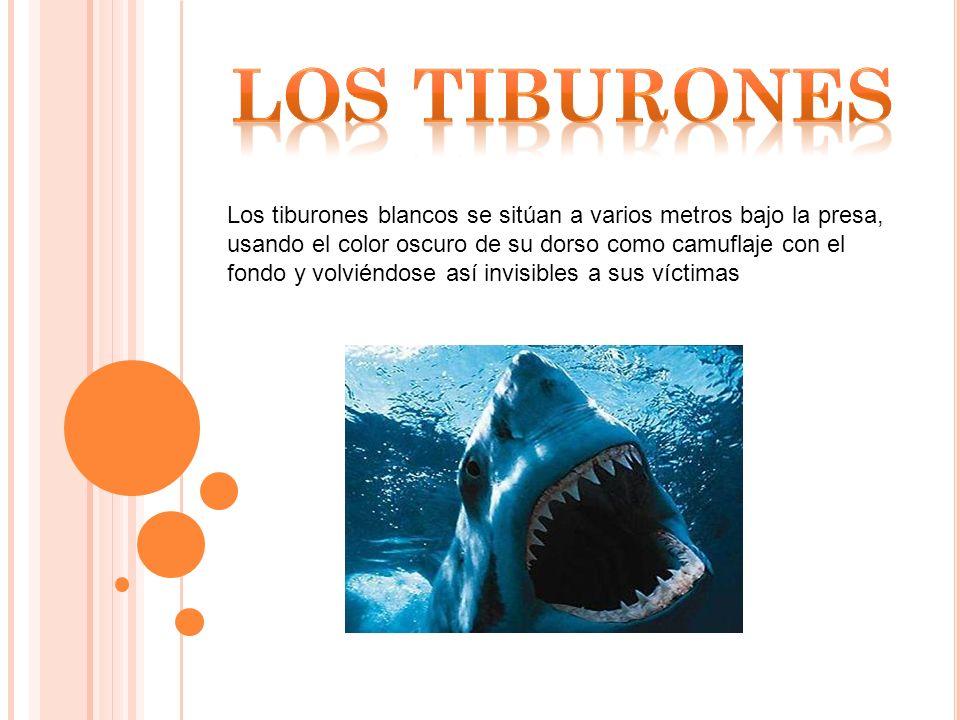 Los tiburones blancos se sitúan a varios metros bajo la presa, usando el color oscuro de su dorso como camuflaje con el fondo y volviéndose así invisibles a sus víctimas