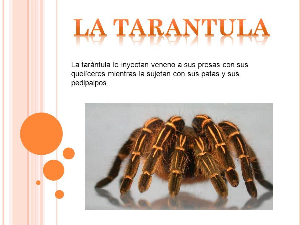 La tarántula le inyectan veneno a sus presas con sus quelíceros mientras la sujetan con sus patas y sus pedipalpos.