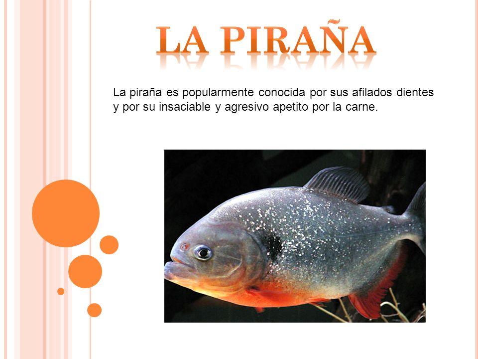 La piraña es popularmente conocida por sus afilados dientes y por su insaciable y agresivo apetito por la carne.