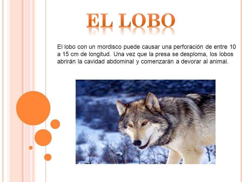 El lobo con un mordisco puede causar una perforación de entre 10 a 15 cm de longitud.
